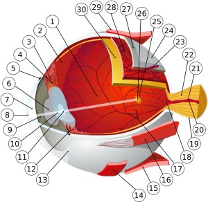 1: posterior chamber 2: ora serrata 3: ciliary muscle 4: ciliary zonules 5: canal of Schlemm 6: pupil 7: anterior chamber 8: cornea 9: iris 10: lens cortex 11: lens nucleus 12: ciliary process 13: conjuntiva 14: inferior oblique muscule 15: inferior rectus muscule 16: medial rectus muscle 17: retinal arteries and veins 18: optic disc 19: dura mater 20: central retinal artery 21: central retinal vein 22: optical nerve 23: vorticose vein 24: bulbar sheat 25: macula 26: fovea 27: sclera 28: choroid 29: superior rectus muscule 30: retina.